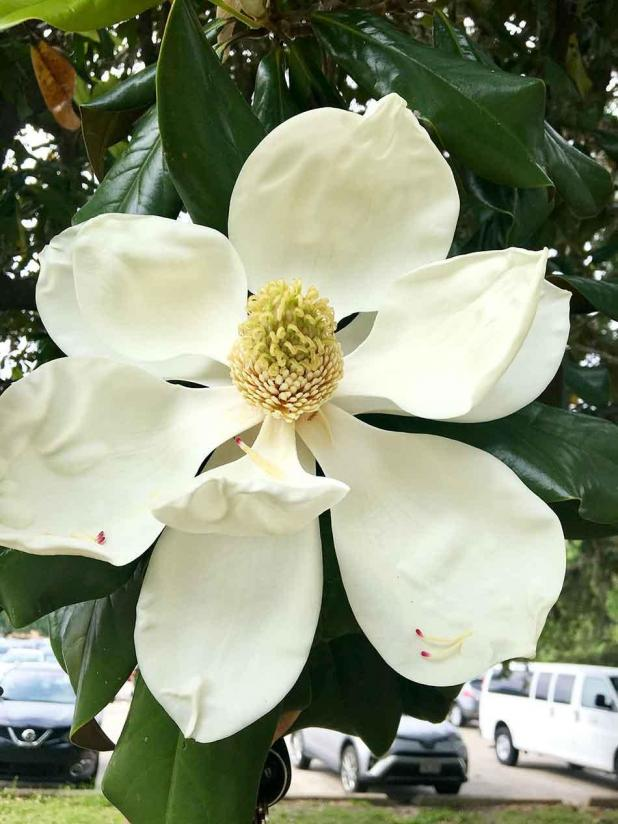 Get It Growing Magnolias Are Iconic Southern Trees St Mary Now